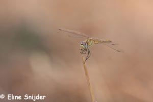Zwervende Heidelibel - Sympetrum fonscolombii